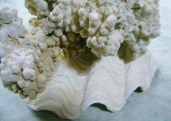 画像3: 珊瑚オブジェ(L)