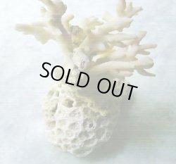 画像1: 珊瑚オブジェ